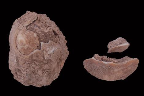 Dos de los fósiles de moluscos hallados en Ceuta. | Universidad de Cádiz