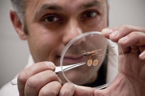 El Dr Karim Vahed enseña los testículos diseccionados del grillo. | Universidad de Derby