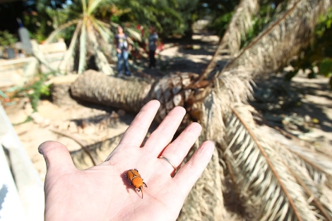 Un ejemplar de picudo rojo ante una de las palmeras afectadas en Elche. | Ernesto Caparrós