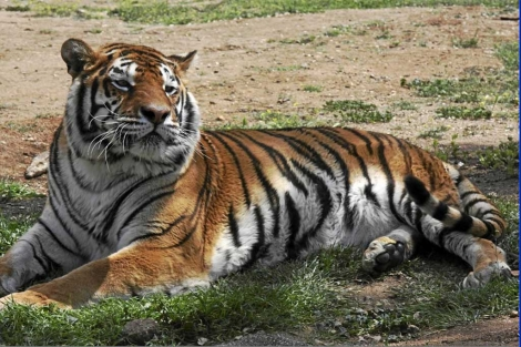 Tigre de Bengala en el Safari de Madrid.|EL MUNDO