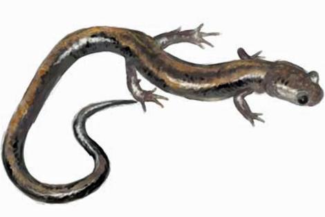 Salamandra rabilarga (Chioglossa lusitanica). | Xunta