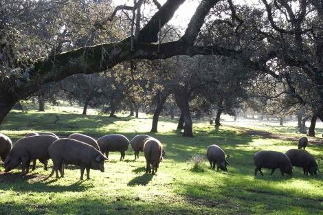 Cochinos ibéricos en fase de montanera en una dehesa de la Sierra Norte de Sevilla. | E.M.
