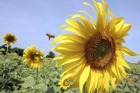 Una abeja sobrevuela un girasol.| Efe