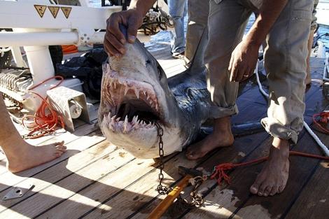 Un tiburón captura en las costas egipcias tras la muerte de una turista. | Efe