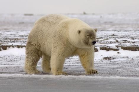 Híbrido de oso polar y oso grizzly. | Corbis