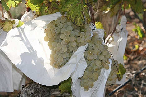 Racimos de uva embolsada del Valle del Vinalopó.   Ernesto Caparrós