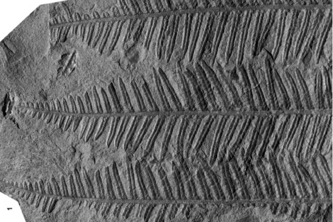 Helecho del carbonífero.|Robert Wagner. Jardín Botánico de Córdoba