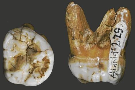 Los dientes del nuevo homínido hallado en Siberia. | Nature
