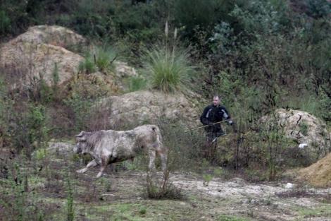 Se necesitaron dos disparos anestesiantes para reducir al toro. | Rosa González