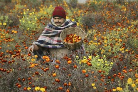 Un agricultor indio recoge la 'flor de la maravilla' o caléndula, en Pura. | Efe