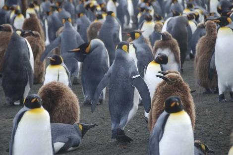 Un pingüino marcado con la anilla metálica de aleta. | Benoît Gineste