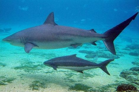 Tiburones de la especie 'Carcharhinus obscurus'.