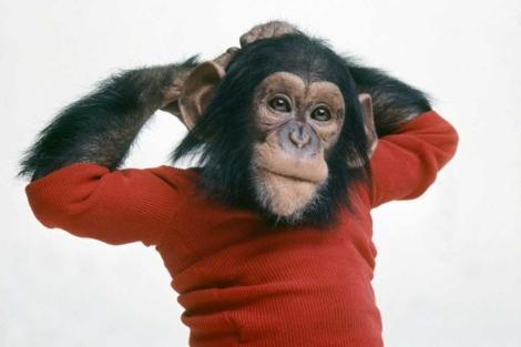 Resultado de imagen de chimpance bebe