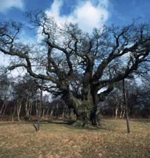 Uno robles del bosque de Sherwood. | El Mundo