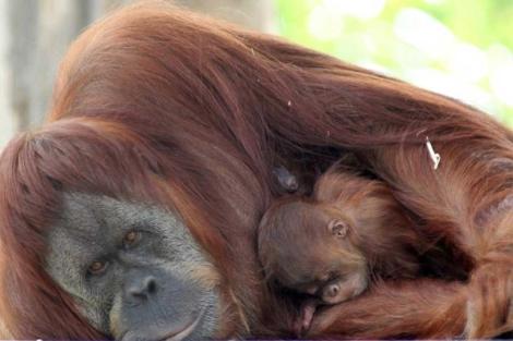 Un orangután hembra con su cría en el Zoo de Melvbourne. |EFE