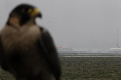 Casi 40 halcones vigilan a diario el aeropuerto. (S. González)