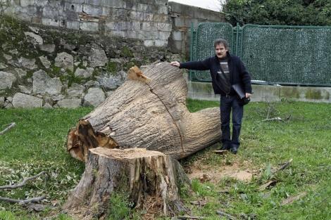 Los restos del tilo plateado de 200 años talado en enero.   A.G.