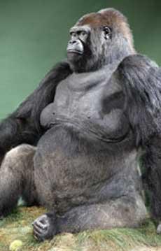 El gorila Guy. | NHML