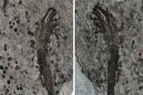 Fósil de biota Lantian. | Zhe Chen
