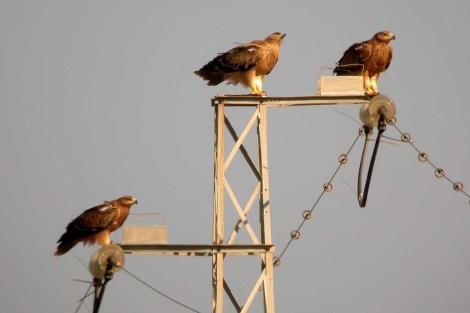 Águilas imperiales ibéricas. | Miguel Ferrer / CSIC