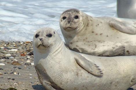 Dos ejemplares de foca común en Alemania. | Werner Witte