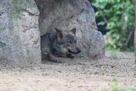 La zona de los lobos del zoo, tras la captura de los 'fugados'. | Domènec Umbert