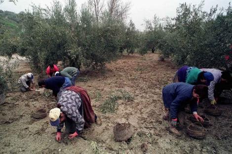 Un grupo de trabajadores en un olivar jiennense durante la temporada de la aceituna. | E.M.