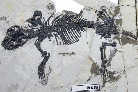Esqueleto del 'Liaoconodon hui', hallado en China.| Nature