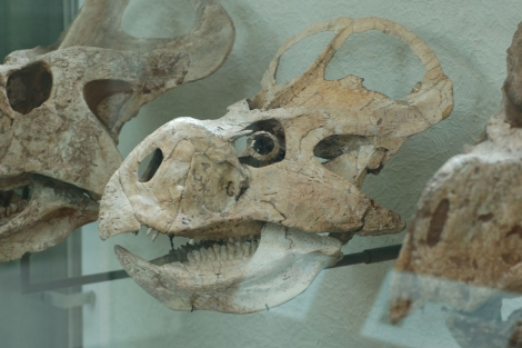 Cabeza de 'Protoceraptor andrewsi', capaz de ver de noche y de día.   Science