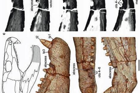 Mandíbulas de 'Lambidosaurus', utilizadas en la investigación.| Reisz R R.Science Daily