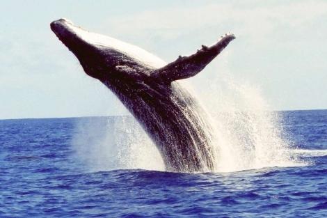 Ejemplar de ballena jorobada. | Nan Daeschler Hauser/Efe