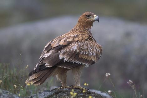 Un ejemplar de águila imperial/ EM