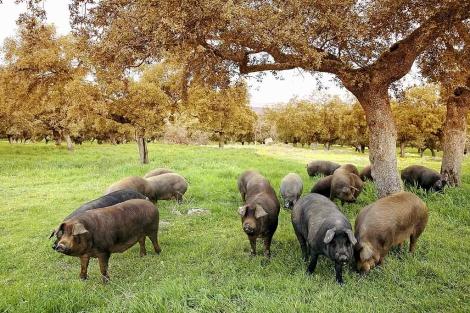 Cerdos ibéricos en una dehesa andaluza.
