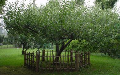 El manzano vallado. | EL MUNDO