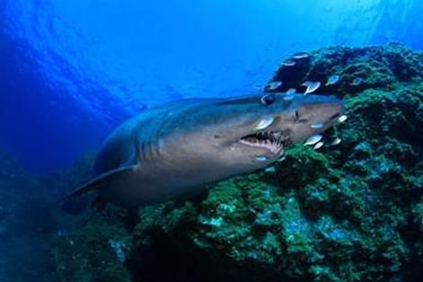 El tiburón solrayo ('Odontaspis ferox') mide más de 4 metros. | IEO.