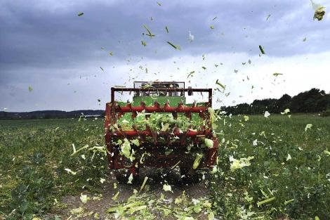 Un agricultor alemán destruye su cultivo para evitar riesgos de infección. | Efe
