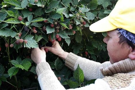 Recolección de frutos rojos en una explotación agrícola onubense para exportarlos.   Elisabeth Domínguez