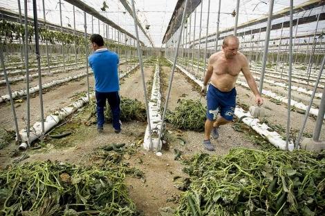 Agricultores arrancando un cultivo de pepino, ante el riesgo de infección. | E.M.
