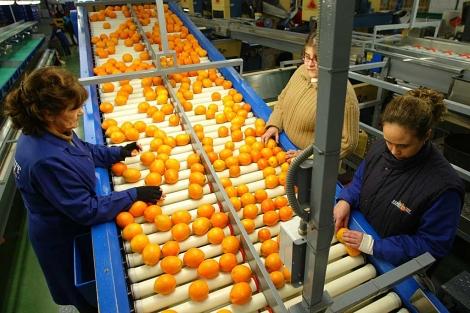 Cinta de manipulación de naranjas en una cooperativa de Palma del Río. | Madero Cubero