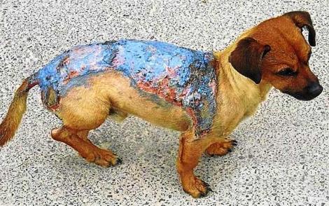 Imagen del perro que fue víctima del maltrato en Pinoso.   E.M.