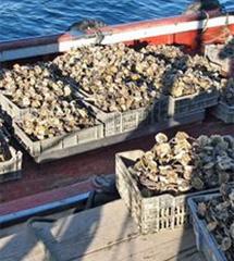 Cultivo de ostra. | Opoga