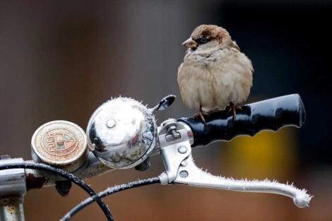 Imagen de un ave urbana sobre el manillar de una bicicleta.| CSIC