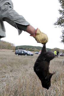 Un visón capturado en Soria tras escapar de una granja.