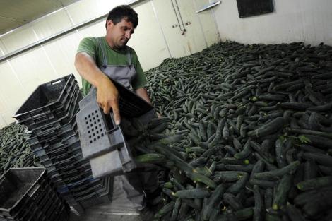 Un operario apila pepinos en un invernadero de Vinica, Macedonia. | Efe
