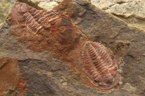 El ojo del artrópodo, entre dos trilobites fosilizados, en el yacimiento. CSIC