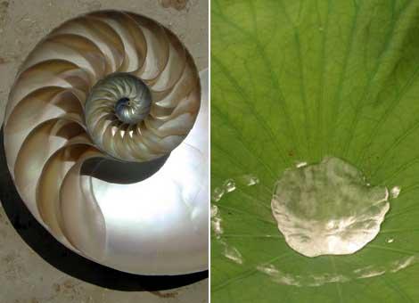 Imágenes del nácar iridiscente dentro de una concha de nautilus y agua sobre una hoja de loto. Wikipedia.