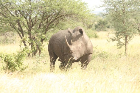 Imagen de un rinoceronte en el parque Kruger.| Javier Brandoli