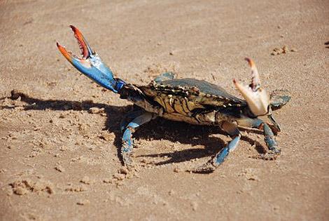 Un amenazador cangrejo en una playa.