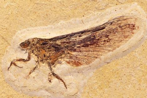 Ejemplar fosilizado del 'Coxoplectopetera' adulto.| Museo Historia Natural Stuttgart