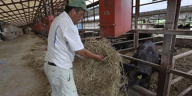Un trabajador alimenta a una vaca en Ishikawa-gun, en la prefectura de Fukushima.   Efe
